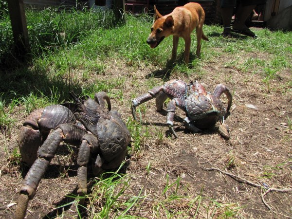 coconut crabs dog